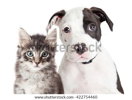 Closeup portrait of cute black and white young puppy and kitten together looking into camera #422754460