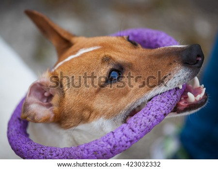 Small Jack Russell puppy playing with toy outdoors. Cute small domestic dog, good friend for a family and kids. Friendly and playful canine breed #423032332