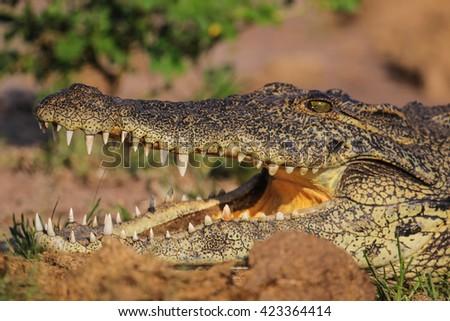 Close portrait of Nile crocodile mouth and teeth #423364414