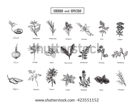 Set of Herbs and spices in sketch style. Vector illustration for your design. Herbs and spices, vegetables, vegetables, Herbs and spices, Set of Herbs and spices. Herbs and spices in sketch style #423551152