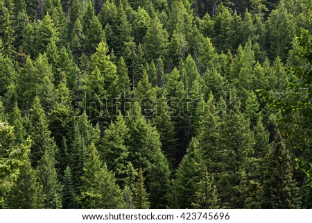 Evergreen trees Royalty-Free Stock Photo #423745696