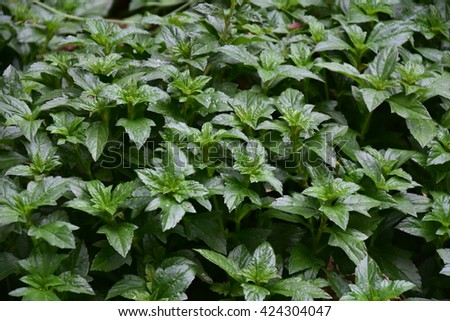 green leaves background in natural light and shadow,green leaves background in soft light,little green leaves with shadow into the garden #424304047