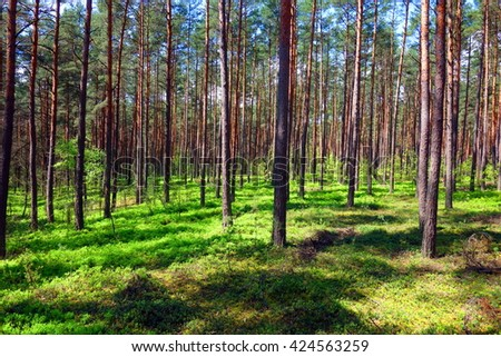 tranquil green pine forest - beauty of wild nature #424563259
