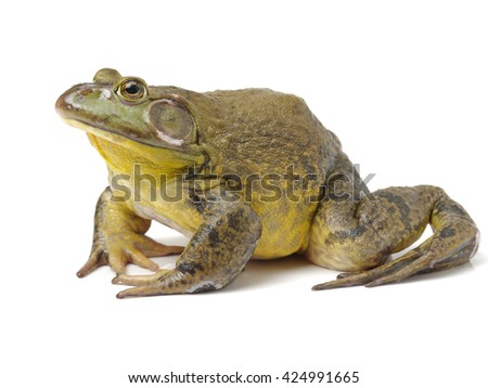 Bullfrog, Rana catesbeiana, against white background, studio shot #424991665
