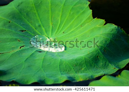 Water droplets on Lotus leaf #425611471