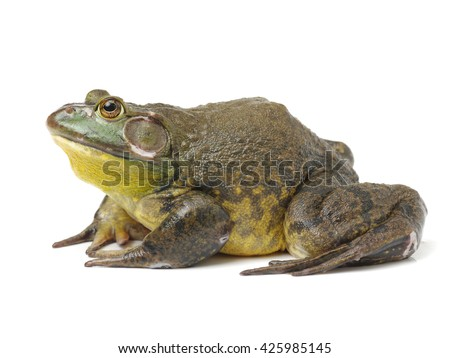 Bullfrog, Rana catesbeiana, against white background, studio shot #425985145