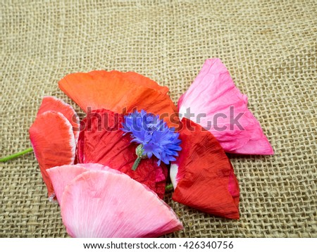 This pretty pink poppy flower, #426340756