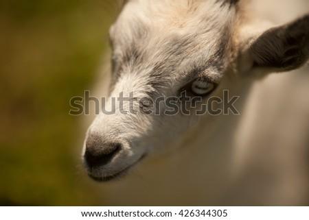 Goat grazing on grass #426344305