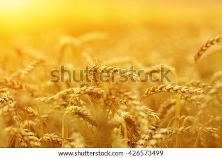Wheat field on sun. #426573499