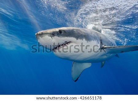 Great white shark, carcharodon carcharias,  underwater at Guadalupe Island Mexico.
