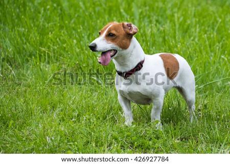 jack russel terrier on green lawn #426927784