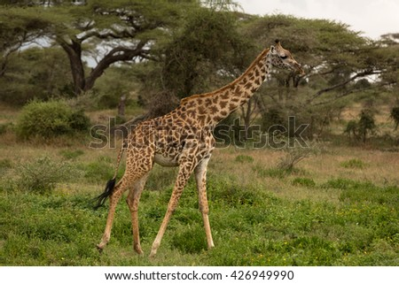 Giraffes posing in the african savanna #426949990