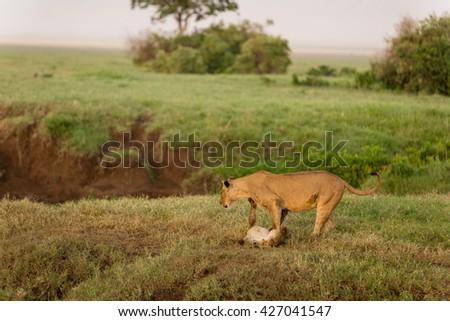 Lion mother cuddling her cub #427041547
