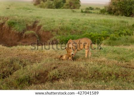 Lion mother cuddling her cub #427041589
