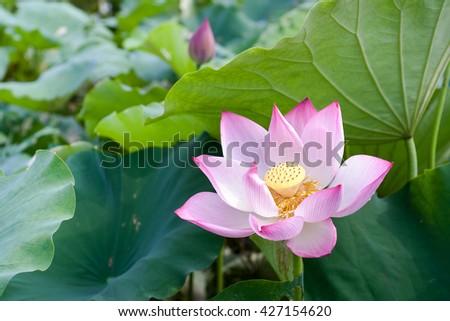 Lotus flower in blooming background  #427154620