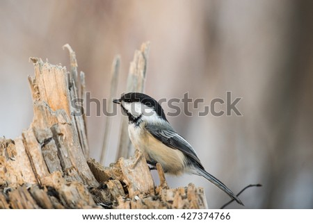 Chickadee perching on a tree in the springtime #427374766