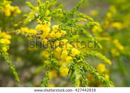 Close-up of australian acacia truncata bright yellow flowers #427442818