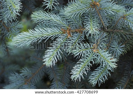 Spruce, backgrounds and textures: two crossed fir tree branches, blue and green, natural seasonal background #427708699