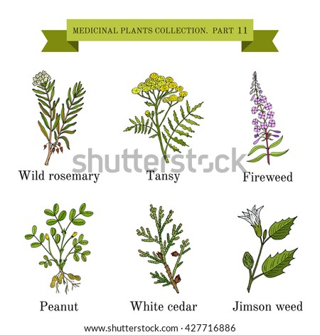Vintage collection of hand drawn medical herbs and plants, wild rosemary, tansy, fireweed, peanut, white cedar, jimson weed. Botanical vector illustration #427716886