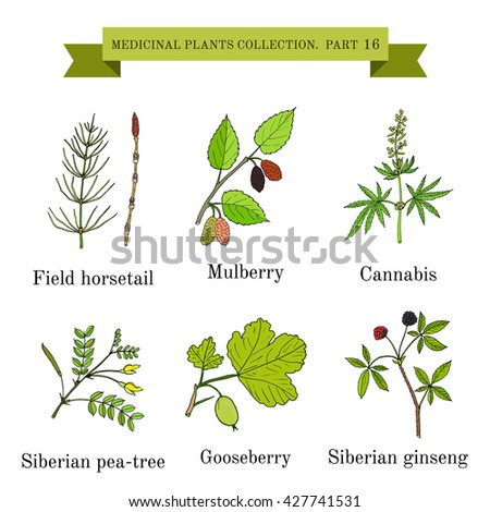 Vintage collection of hand drawn medical herbs and plants, field horsetail, mulberry, cannabis, siberian pea-tree, gooseberry, siberian ginseng. Botanical vector illustration #427741531