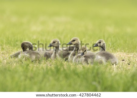 Close-up of Canada goose (Branta canadensis) newborn chicks and goose family grazing in a meadow #427804462