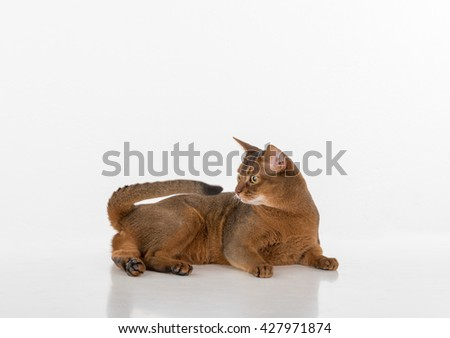Portrait Curious Abyssinian cat lying on ground and looking back. Isolated on white background #427971874