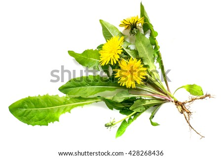 Medicinal plant dandelion (Taraxacum officinale) on a white background. Dandelion - edible plant and nectariferous  #428268436