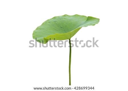 Lotus leaf #428699344