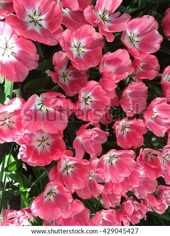 Pink flowers blooming in the morning. #429045427