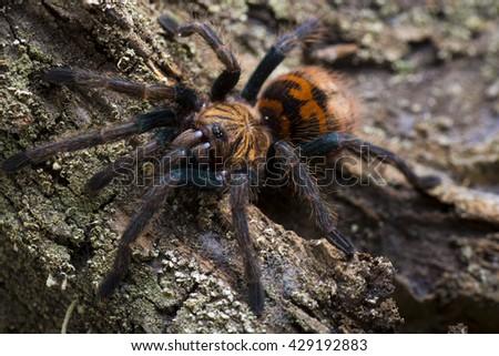 Close-up of a young  greenbottle tarantula (Chromatopelma cyaneopubescens) #429192883