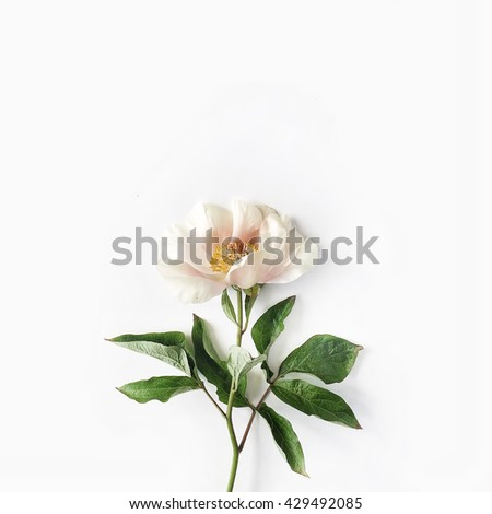 One beige peony on white background. Flat lay, top view