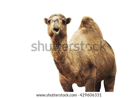 african camel isolated on white background.  Royalty-Free Stock Photo #429606331
