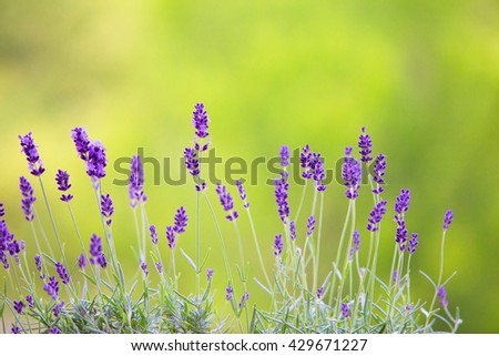 Lavender field closeup. Blooming lavender.  Aromatic lavender flowers over sunset sky. #429671227