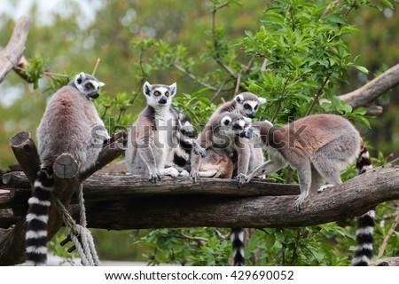 Lemurs Family #429690052