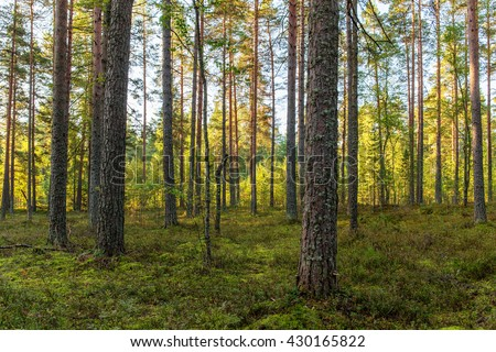 landscape in sunny coniferous forest in early autumn #430165822