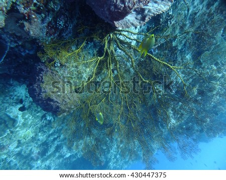 unusual black coral formations at Bunaken island, north Sulawesi, Indonesia, the black volcanic sands hide all manner of mysteries and oddities form the underwater world #430447375