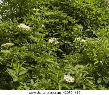 elderberry flowers on the bush #430524619