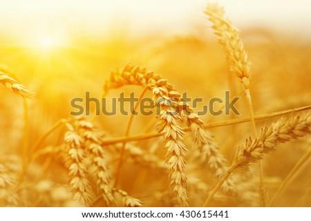 Wheat field on sun.  #430615441
