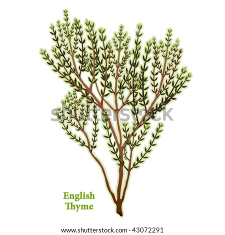 English Thyme. To flavor meats, stews, poultry, vegetables. Classic ingredient of French herb blends: Fines Herbes, Herbes de Provence, Bouquet Garni. EPS8 compatible. See other herbs in this series. #43072291