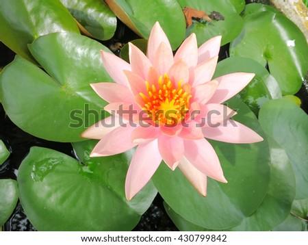 water lily. Lotus flower and leaf lotus. Bee on carpel white Lotus flower plants #430799842