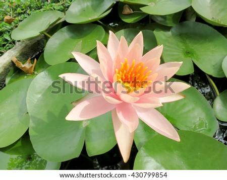 water lily. Lotus flower and leaf lotus. Bee on carpel white Lotus flower plants #430799854