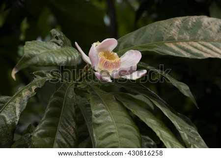 Gustavia gracillima Miers: ornamental flowers are beautiful, fragrant and medicinal properties. #430816258