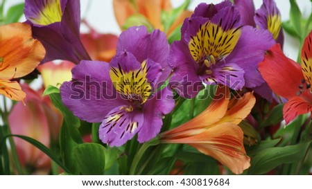 Alstroemeria - lily of the Incas. Closeup of flowers and buds of Alstroemeria on a white background. #430819684