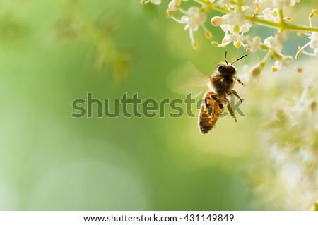 flying honey bee #431149849