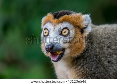 portrait crown lemur #431236546