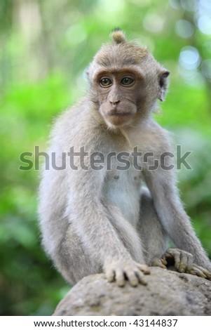 wild monkey #43144837