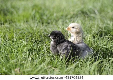 Chicken,  Chicken on the grass #431706826