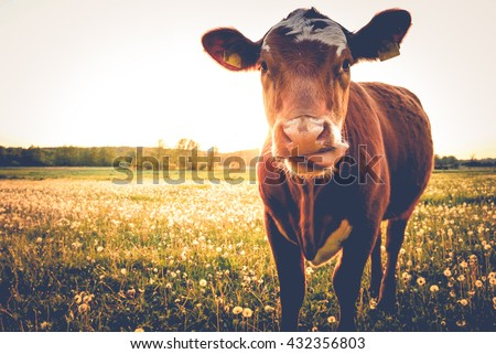 Happy single cow on a meadow during sunset in summer Royalty-Free Stock Photo #432356803