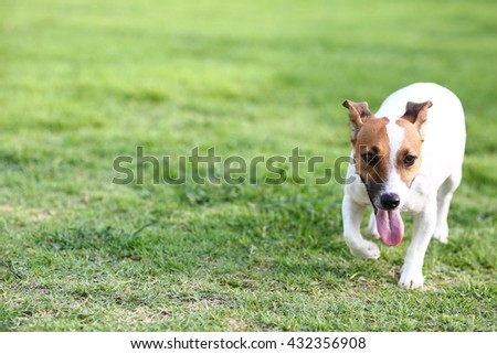 Cute Jack russell walking in the garden so beautiful #432356908