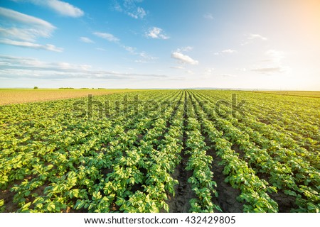 Green field of potato crops in a row #432429805